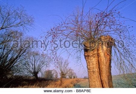 wild rose growing in hollow willow Lenzen Germany Eine Wildrose welche im hohlen Stamm einer abgestorbenen Weide - Stock Photo