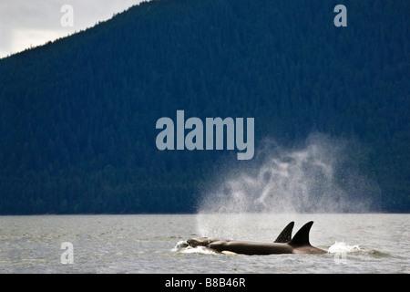 Killer whales, Alaska, USA - Stock Photo
