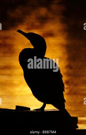 Double crested cormorant silhouette at sunrise Victoria British Columbia Canada - Stock Photo