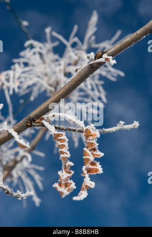 hoar frost covers some browned leaves of a honey locust tree in winter, against a deep blue sky - Stock Photo