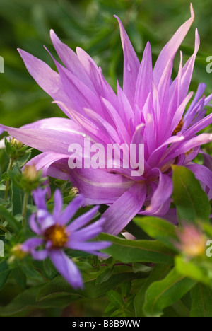Two fall-bloomers for the garden -- asters and autumn crocus -- create a lovely purple color scheme in the garden. - Stock Photo