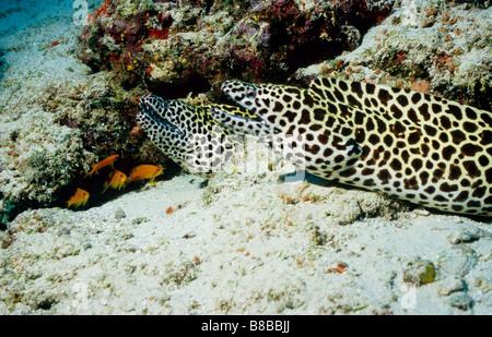 Morays. Family: Muraenidae. Pair of Honeycomb Moray Eels. Gymnothorax Favagineus. Underwater marine life of the - Stock Photo