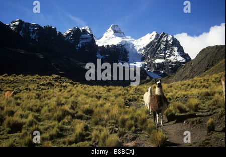 Llamas (Lama glama), high altitude ichu grass ( Jarava ichu ) and Mt Condoriri, Cordillera Real, Bolivia - Stock Photo
