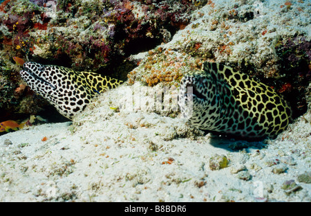 Another view of a pair of Honeycomb Moray Eels, underwater in the Maldives. Family name: Muraenidae. Gymnothorax - Stock Photo