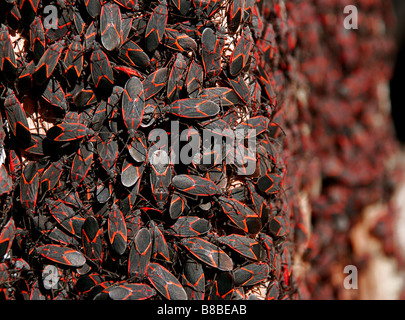 Infestation or large group of red and black box elder bugs - Stock Photo