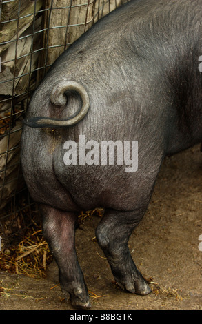 FV5512, Brian Summers; Pig's Behind - Stock Photo