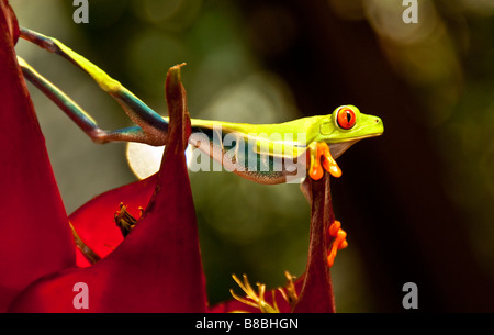 Red-eyed tree frog in Costa Rica - Stock Photo