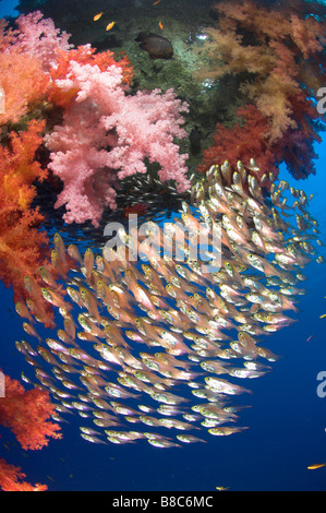 Sweepers around soft coral - Stock Photo