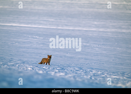 FOX in snow - Stock Photo