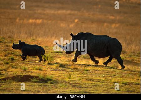 WHITE RHINO and calf - Stock Photo