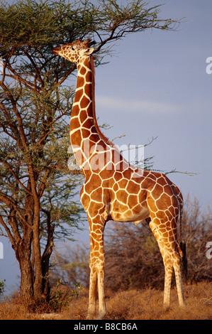 RETICULATED GIRAFFE - Stock Photo