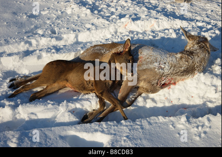 A Red Deer hind and fawn lying dead after being shot in Glen Lui, Cairngorms, Aberdeenshire, Scotland, UK. - Stock Photo