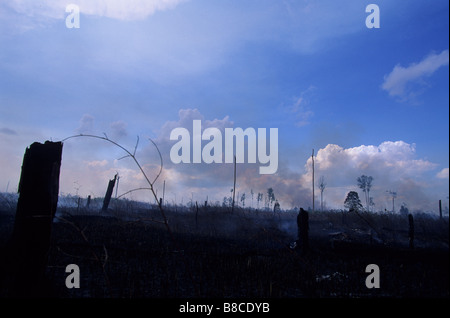 Clear cut forest for Oil palm plantation - Stock Photo