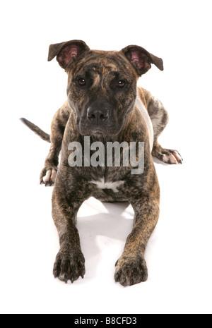 Staffordshire Bull Terrier Cross Laying Studio - Stock Photo