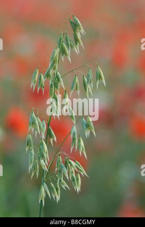 Wild oats Avena fatua in field of poppies - Stock Photo