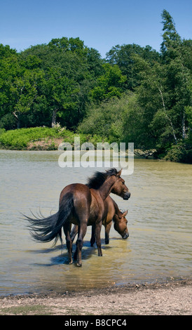 Ponies paddling and drinking at Cadman's Pool, New Forest, Hampshire, England - Stock Photo