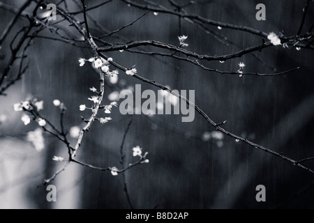 A plum tree flowers in the rain - Stock Photo