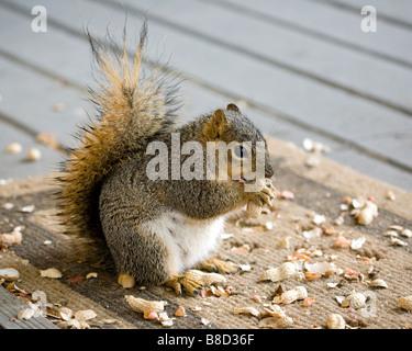 A pregnant female fox tree squirrel eats peanuts - Stock Photo