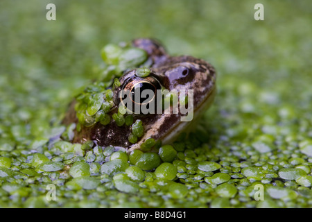 COMMON FROG (Rana temporaria) in garden pond, London, UK - Stock Photo