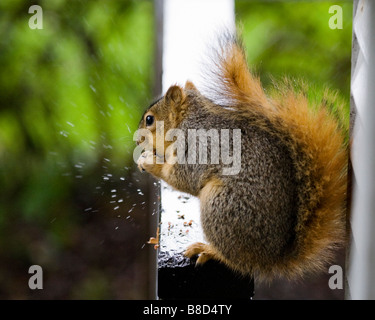 A male fox tree squirrel eats peanuts on a rainy day in California - Stock Photo