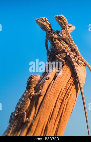 Baby Bearded Dragons - Stock Photo