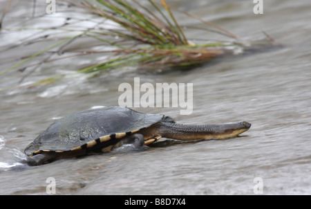 snake-necked turtle climbing a weir - Stock Photo