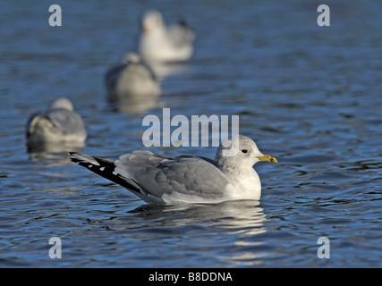 Common Gull. Larus canus. French: Goéland cendré German: Sturmmöwe Spanish: Gaviota cana - Stock Photo