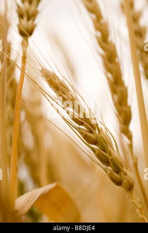 Close-up of wheat, Saskatchewan, Canada