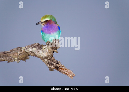 Lilac-breasted roller - Stock Photo
