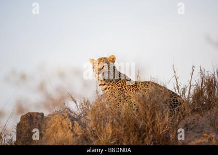 Leopard - Stock Photo