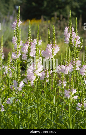 Flowers of obedient plant , Physostegia virginiana, North America, USA, Canada - Stock Photo