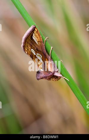 Gold Spot Moth at Great Wheal Seton, Cornwall - Stock Photo