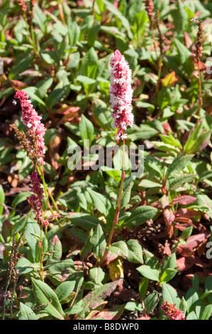 Himalayan Fleeceflower, Knot Weed, Polygonaceae, Polygonium affine, Persicaria affinis,  Polygonum affine, Himalayas - Stock Photo