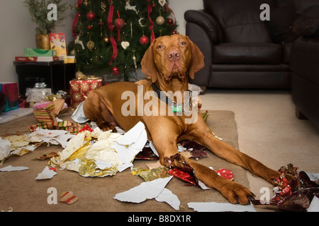 Christmas scene of Hungarian Vizsla dog sitting amongst shredded xmas wrapping paper that he's just chewed up! - Stock Photo