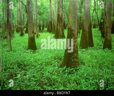 SOUTH CAROLINA  - Trees growing in the swampy ground along the the Boardwalk Trail of Congaree National Park. - Stock Photo