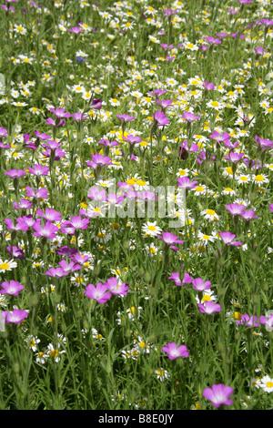 Corn Cockle, Agrostemma githago, Caryophyllaceae and Ox Eye Daisies Chryanthemum leucanthemum