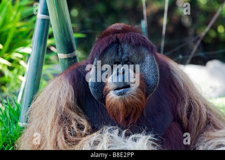 Male orangutan (Pongo pygmaeus) - Stock Photo