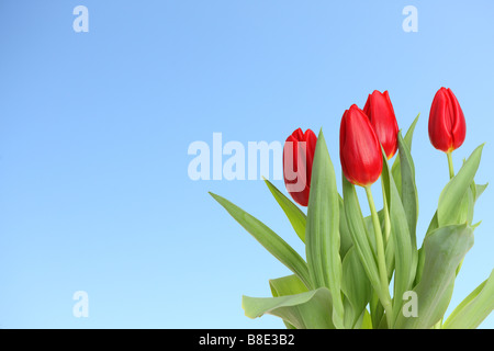 Red tulips with blue sky background - Stock Photo