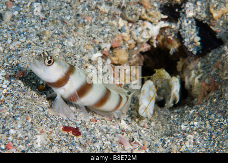 Symbiotic relatinship between a shrimp - blind worker and goby - watcher, Red Sea, Marsa Alam - Stock Photo
