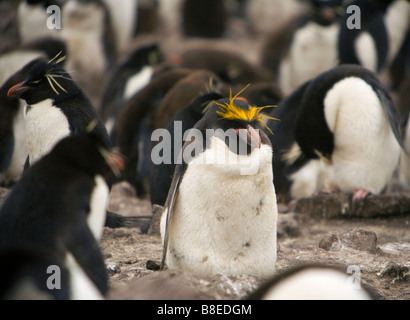 Macaroni Penguin (Eudyptes chrysolophus) in a Rockhopper Penguin (Eudyptes chrysocome chrysocome) colony on The - Stock Photo