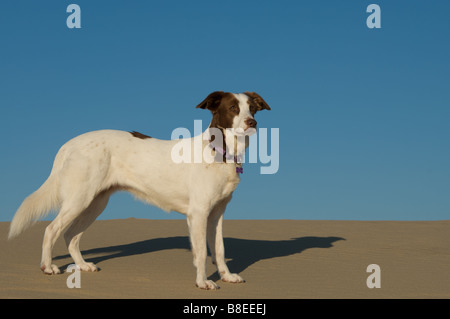 White dog (Brittany Spaniel mix) standing in Oregon sand dunes. Full body side view, solid blue sky behind. - Stock Photo