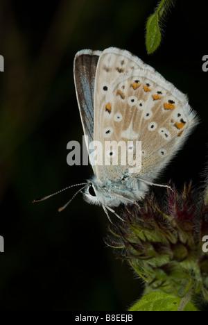 Male Chalkhill Blue butterfly (Polyommatus coridon) - Stock Photo