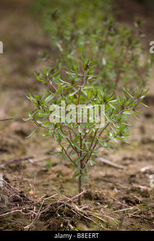 Summer savory (satureia hortensis) - Stock Photo