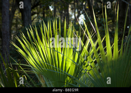 GEORGIA - Leaves of the Saw Palmetto, (Serenoa repens), along the Sandpiper Nature Trail in Skidaway Island State - Stock Photo