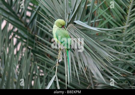 female Rose-ringed Parakeet Psittacula krameri sitting in a palm tree - Stock Photo