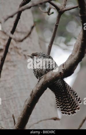 female Asian Koel Eudynamys scolopacea sitting on a tree Agra India - Stock Photo