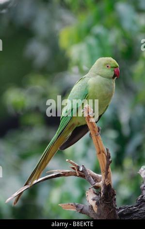 female Rose-ringed Parakeet Psittacula krameri sitting on a dead branch Agra India - Stock Photo