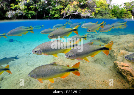 Characins or Piraputangas, Brycon hilarii, Balneario Municipal, Bonito, Mato Grosso do Sul, Brazil - Stock Photo