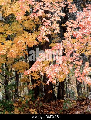 autumn trees and snow, Ottawa National Forest, Upper Peninsula, Michigan - Stock Photo