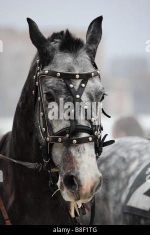 Troika horses, Russia - Stock Photo